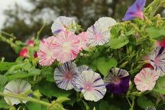 Gruppe mehrfarbige Windenblumen Stockbilder
