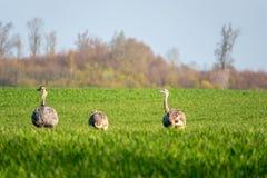 Gruppe Nandus-Läufe über dem Feld früh morgens stockfoto