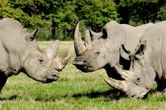 Gruppe Nashorn Stockbild