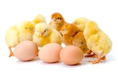 Gruppe neugeborene gelbe Hühner mit Eiern stockfoto