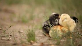 Gruppe neugeborene Hühner stock video footage