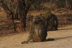 Gruppe Paviane Papio ursinus, das am Rand des Busches, Nationalpark Kruger, Südafrika sitzt lizenzfreies stockbild