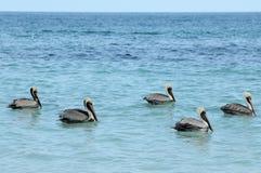 Gruppe Pelikane Stockfoto