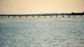 Gruppe Pelikane fliegen niedrig über Fluss mit altem Steg stock video