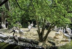 Gruppe Pelikane im München-Zoo Stockfotos