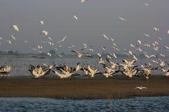 Gruppe Pelikane und andere Vögel bei Nalsarovar Stockfotografie