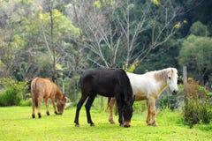Gruppe Pferde, die Gras im grünen Bauernhof essen Stockbilder