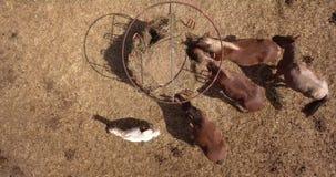 Gruppe Pferde, die Heu auf einem trockenen Gebiet am sonnigen Sommertag, Luftfoto essen Stockfotografie