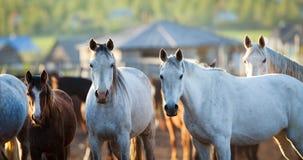 Gruppe Pferde, die Kamera betrachten. Stockfotografie