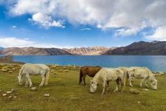 Gruppe Pferde nahe Pangong See mit blauem Himmel in Leh-Bezirk, Ladakh, Himalaja, Jammu und Kashmir, Indien Lizenzfreie Stockbilder