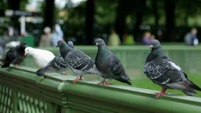 Gruppe pigeones sitzt auf der grünen Seite stock footage