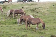 Gruppe pottoka Pferde Stockbilder