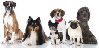 Gruppe purebreed Hunde Lizenzfreie Stockfotos