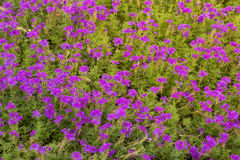 Gruppe purpurrote Blumen Lizenzfreies Stockbild