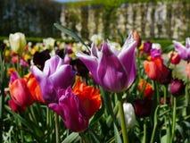 Gruppe purpurrote Tulpen stockbilder