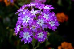 Gruppe purpurrote und weiße Blumen lizenzfreie abbildung
