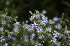 Gruppe purpurrote und weiße Blumen im botanischen Garten Stockbild