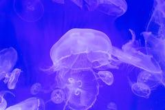 Gruppe Quallen Aurelia-aurita Hintergrund Stockbild