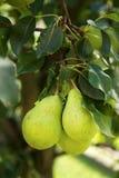 Gruppe reife gesunde gelbe und grüne Birnen Stockbilder