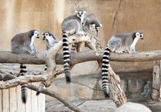 Gruppe Ring angebundene Lemurs lizenzfreie stockfotografie