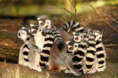 Gruppe ring-tailed Lemurs, die nah zusammen sitzen Stockbild