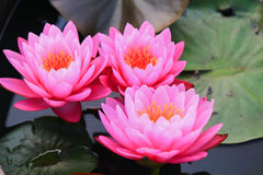 Gruppe rosa Lotos lizenzfreies stockbild