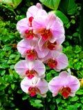 Gruppe rosa Orchideen Stockfotografie