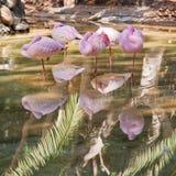 Gruppe rosafarbene Flamingos schlafend Lizenzfreies Stockfoto