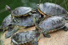 Gruppe rot-ohrige Schieberschildkröten Stockbilder