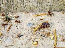 Gruppe rote Ameisen, die ein Insekt tragen stockfoto