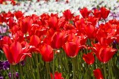 Gruppe rote Tulpen gegen weiße Tulpen Stockfotografie
