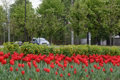 Gruppe rote Tulpen sind im Park nahe der Straße wachsend ökologisches Krisenfoto Lizenzfreie Stockfotografie