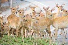 Gruppe Rotwild, die etwas der gleichen Stelle betrachten Lizenzfreies Stockfoto