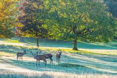 Gruppe Rotwild-Hirsche Stockfoto