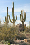 Gruppe Saguaro-Kakteen Stockfotografie