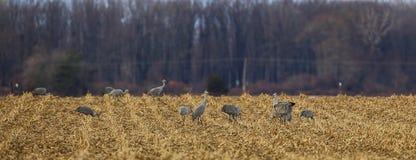 Gruppe sandhill Kräne essen Korn auf einem Maisgebiet stockfotografie