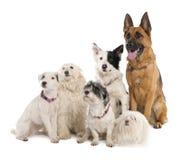 Gruppe Schäferhund, Randcollie und irgendein c Stockbild