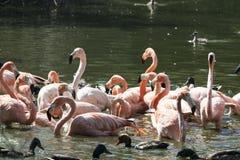 Gruppe schöne Flamingos im Wasser mit Enten stockbilder