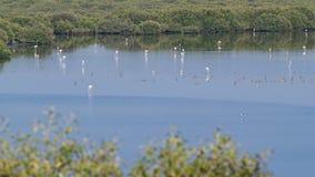 Gruppe schöne Flamingovögel mit Reflexionen, gehend am See timelapse in Adschman, UAE lizenzfreie stockfotos