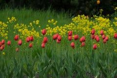 Gruppe schöne frische rote Tulpen im Garten mit gelbem Hintergrund der wilden Blumen Stockfoto