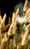 Goldenes glühendes Gras lizenzfreies stockbild