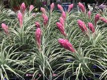Gruppe schönes rosa Aechmea-fasciata im Betriebsshop Stockfotos