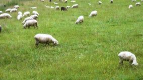 Gruppe Schafe stock footage