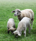 Gruppe Schafe stockfoto