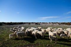 Gruppe Schafe auf einer Wiese Lizenzfreies Stockfoto