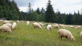 Gruppe Schafe auf grünem Feld stock video footage