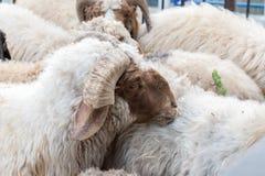 Gruppe Schafe beim Essen stockbilder