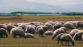 Gruppe Schafe, die auf dem Gebiet weiden lassen stock video
