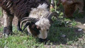 Gruppe Schafe, die auf dem Gebiet weiden lassen Langsame Bewegung stock footage