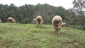 Gruppe Schafe, die auf Wiese herumsuchen stock footage